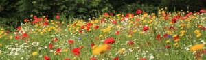 Wild lflower meadow