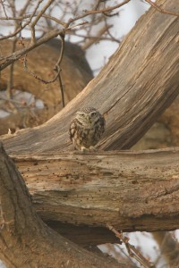 Little Owl 2 200x300 The little owl in the wild   photos and facts