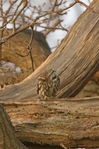 Little Owl 5 200x300 The little owl in the wild   photos and facts