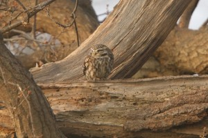 Little Owl 8 300x200 The little owl in the wild   photos and facts